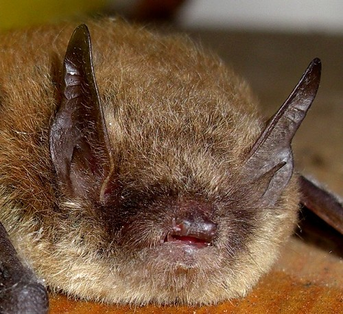 pipistrelle bat pipistrellus pipistrellus