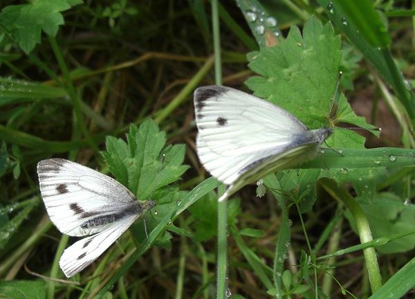 Green-veined white butterflies