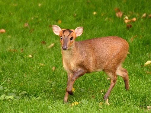 Muntjac Deer Muntiacus Reeves