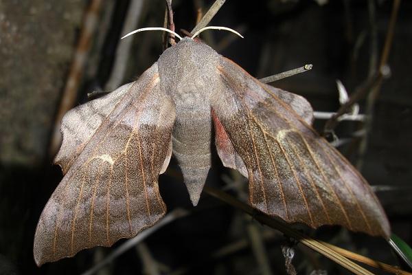 Poplar hawk-moth - Laothoe populi