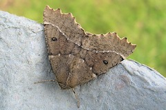 Scalloped Hazel - Odontopera bidentata