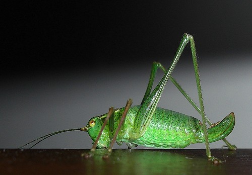 http://www.english-country-garden.com/a/i/animals/speckled-bush-cricket-1.jpg