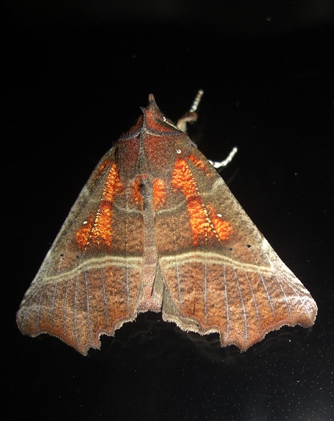 The Herald Moth