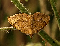 Yellow Shell Moth - Camptogramma bilineata