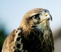 Common Buzzard - Buteo Buteo