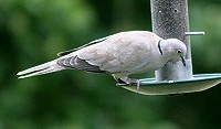 Collared Dove - Streptopelia decaocto