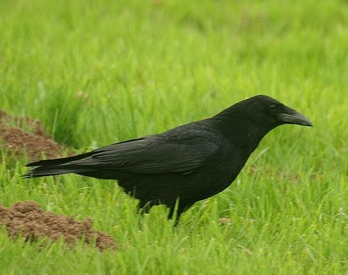 crow-1.jpg