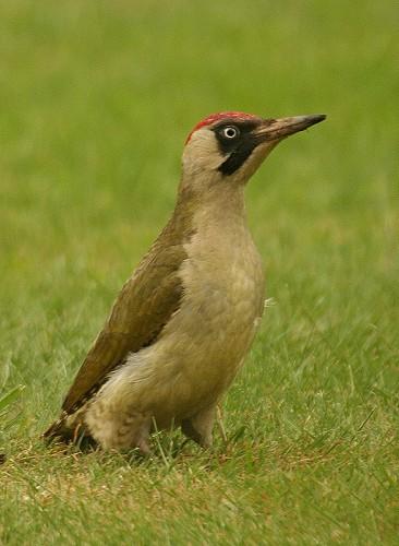 http://www.english-country-garden.com/a/i/birds/green-woodpecker-13.jpg