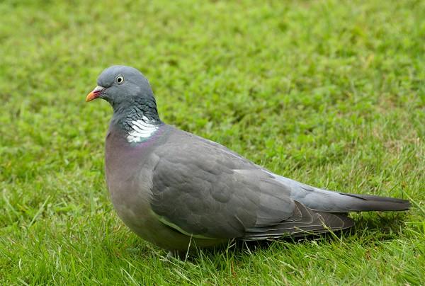 ���� ������ ���� wood-pigeon-1.jpg