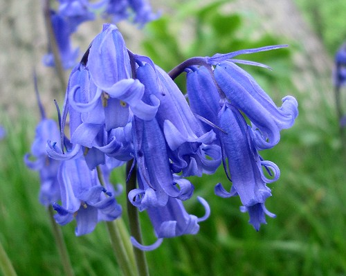 http://www.english-country-garden.com/a/i/flowers/bluebell-5.jpg
