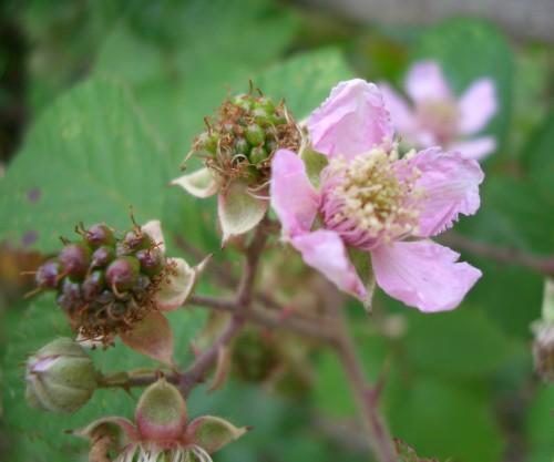 Bramble, Blackberry - Rubus fruticosus