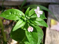 Broad-leaved Willowherb - Epilobium montanum