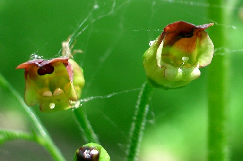 Common Figwort - Scrophularia nodosa - Wildflowers in an English ...