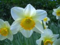 زهرة النرجس daffodil-10.jpg