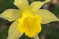 زهرة النرجس daffodil-2.jpg