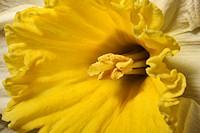 زهرة النرجس daffodil-4.jpg