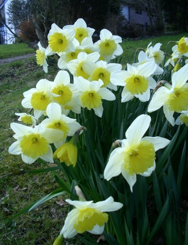 http://www.english-country-garden.com/a/i/flowers/daffodil-5.jpg