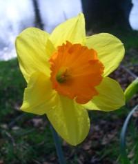 زهرة النرجس daffodil-8.jpg