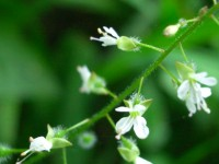Enchanter's Nightshade - Circaea lutetiana