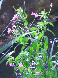 Great Willowherb - Epilobium hirsutum