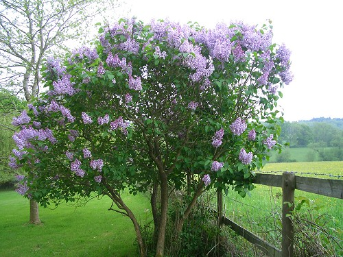lilac syringa vulgaris. Black Bedroom Furniture Sets. Home Design Ideas