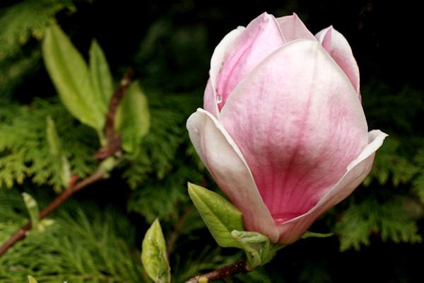 http://www.english-country-garden.com/a/i/flowers/magnolia-1.jpg