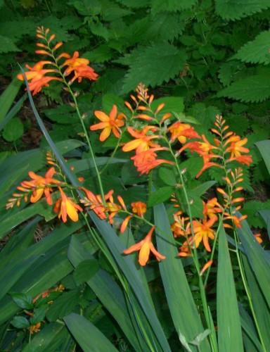 Montbretia Flower