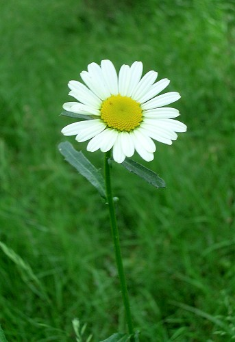 facts about daisy flowers  ehow, Natural flower