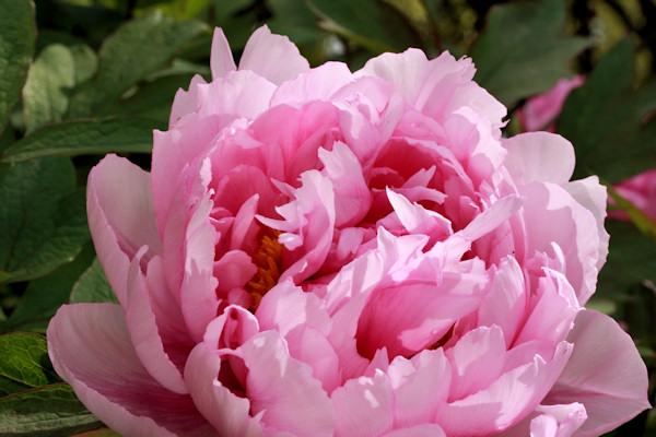 http://www.english-country-garden.com/a/i/flowers/peony-1.jpg