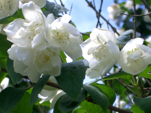 http://www.english-country-garden.com/a/i/flowers/philadelphus-1.jpg