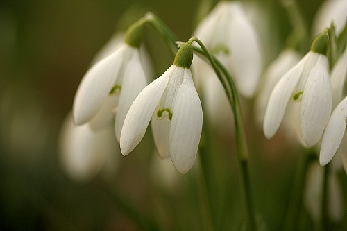 images of snowdrops