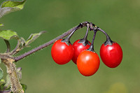 Woody Nightshade Berries - Solanum dulcamara
