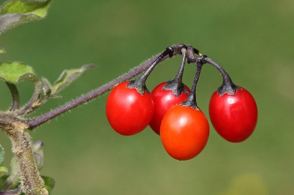here are some herb pics.... Woody-nightshade-5