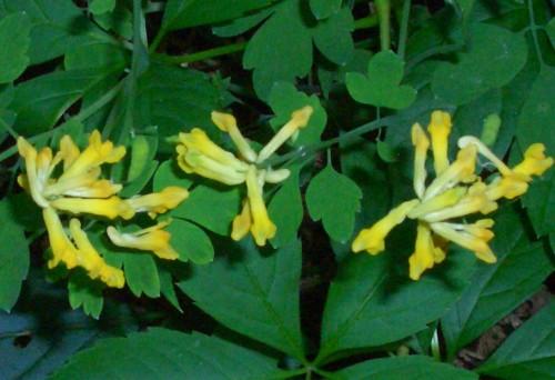 Yellow Corydalis Corydalis Lutea