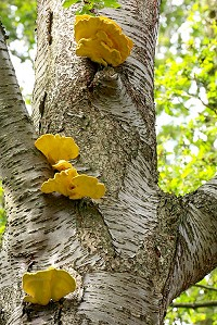 Chicken of the Woods - Laetiporus sulphureus