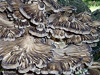 Hen of the Woods - Grifola frondosa