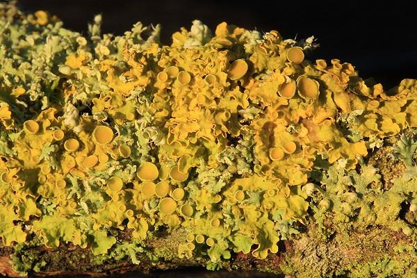 Lichen - xanthoria parietina