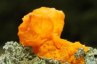 Yellow Brain Fungus - Tremella mesenterica