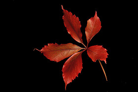 Virginia Creeper leaf