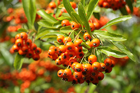 Pyracantha Berries - the birds love them!