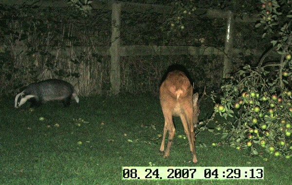Badger and roe deer