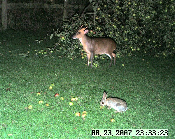 Muntjac and rabbit