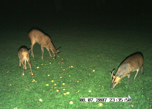 Muntjac and roe deer