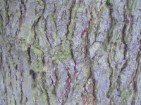 Common Alder bark