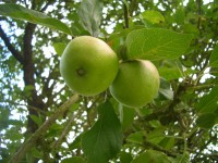 Apple - Malus sylvestris