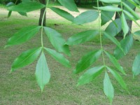 Common Ash - Fraxinus excelsior