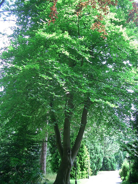 Uses For Beech Wood ~ Singing nettles herbal clinic may