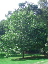 London Plane - Platanus x hispanica