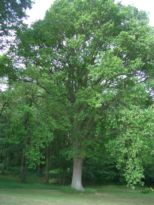 English Oak Tree in Summer  Quercus robur