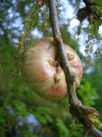 Oak Apple Gall caused by the wasp, Biorhiza pallida